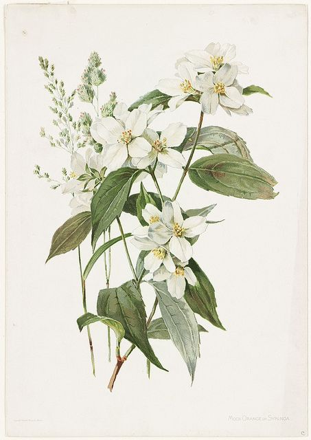 Title: Mock Orange or Syringa Creator/Contributor: Lunzer, Alois (artist); L. Prang & Co. (publisher) Copyright date: 1885 Genre: Chromolithographs Location: Boston Public Library, Print Department
