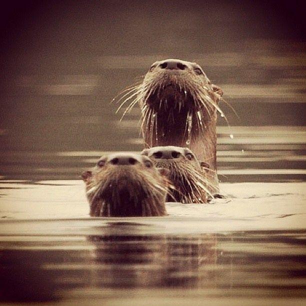 otters taking a peek on third lake . Adirondacks, NY