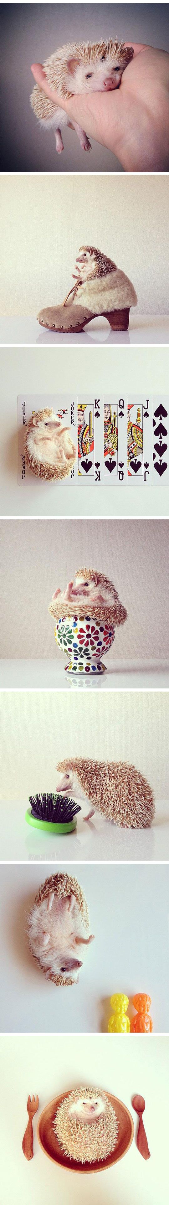 how is sonic a hedge hog? He makes them seem so hard core... they are precious little lazy pups! <3