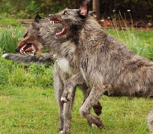Wolfhounds - wouldn't want to meet them on a dark night