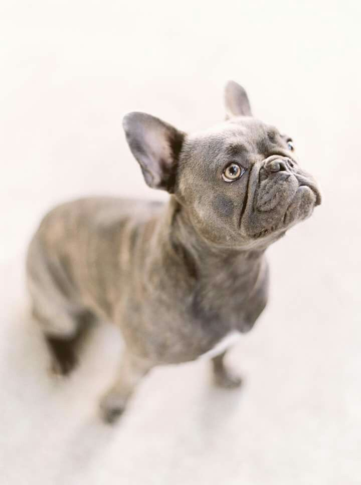 french bulldog utah 27 best images about fowers frenchies on pinterest blue 8769