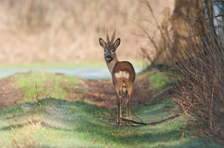 Ree in het vroege ochtendlicht.  Roe deer in the early morning.