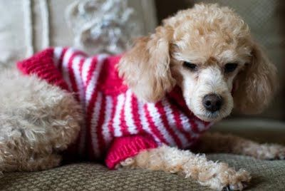 Douglas Dog Knitting Pattern : (via Mia & Maddie Designs: Freebie: Varsity Dog Sweater) Knitting - Pet...