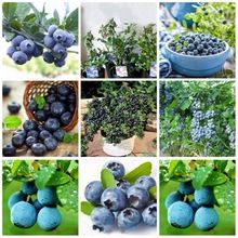 5 Kinds of Categories Purple Blueberry Seed Windowsill Roof Fruit Seed Potted Bonsai Tree Plant Vaccinium Seed a Pack 200 Pcs(China (Mainland))