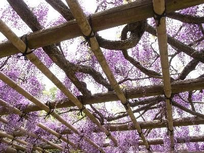 About the Wisteria Tree