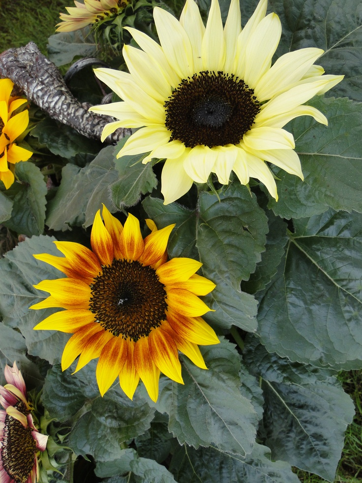 Helianthus Sunsation van Combinations