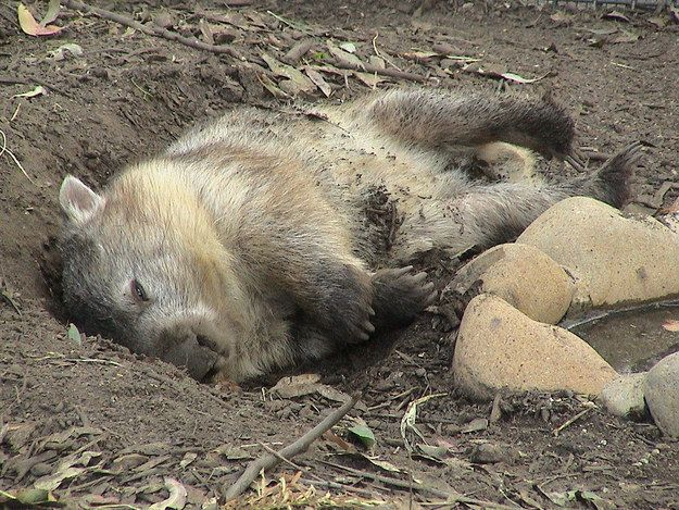 """I'm awake! I swear.""   21 Wombats Who Understand The Struggle Of Constant Tiredness"