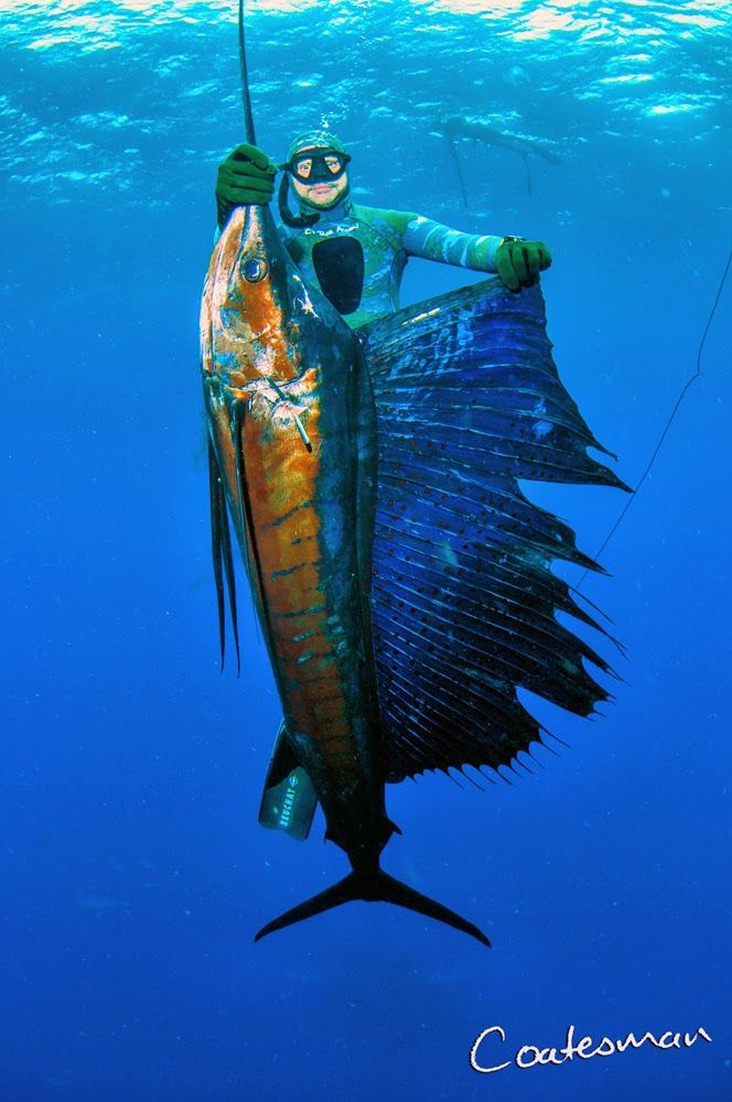 The dangers of spearing Sailfish