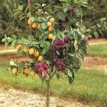 2-N-1 Fruit Trees for Small Spaces - Growing with Stark Bro's