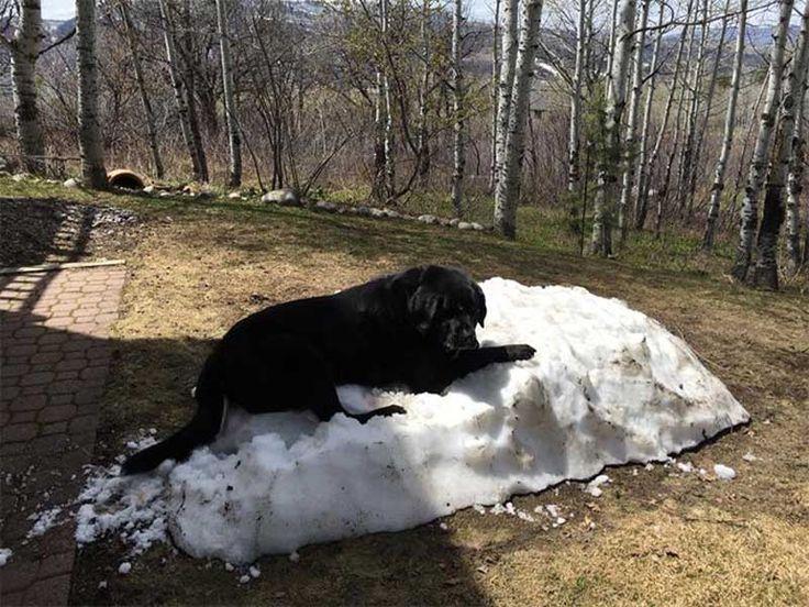 Havaların ısınmasıyla birlikte yaz mevsiminin gelişine sevinenler olduğu kadar üzülenler de var. Son kar kalıntısının üzerinde nöbet tutan siyah labrador cinsi köpeğinin çabasına şahit olan insan dostu bu 'son kar nöbeti'ni fotoğrafladı.. Detaylar ajanimo.com'da.. #ajanimo #ajanbrian #animal #hayvan #dog #köpek
