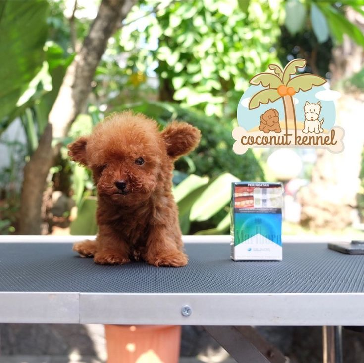 For sale teacup female red toy poodle grab it fast