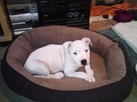 Staffordshire Bull Terriers 'when well cared for and properly trained they can make brilliant companions'. A young white Staffie at home.