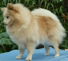 FINALLY found out what type of dog my little Teddy boy is!  German Spitz!