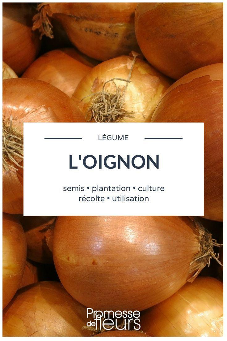 Oignon Blanc A Planter oignon : semis, plantation, culture, récolte - #culture