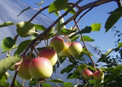 Rautatieomenapuu - Järnvägshängäppel      Siperianomenan riippaoksainen muoto, joka muodostaa sateenvarjomaisen latvuksen. Runsas kukinta. Omenat ovat noin 4 cm ja soveltuvat hyvin omenasoseen tekoon. Kestävä.
