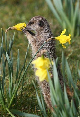 Even meerkats stop to smell the daffodils.