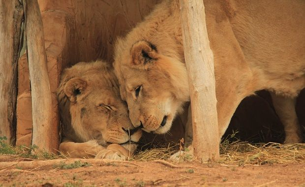 A special and tender moment of brotherly love shared between our ageing male lions, Tonyi and Tombo. In the wild the average life expectancy of a male lion is between 10 – 12 years of age. Tonyi and Tombo will reach a remarkable milestone next year, when they celebrate their twentieth birthdays.