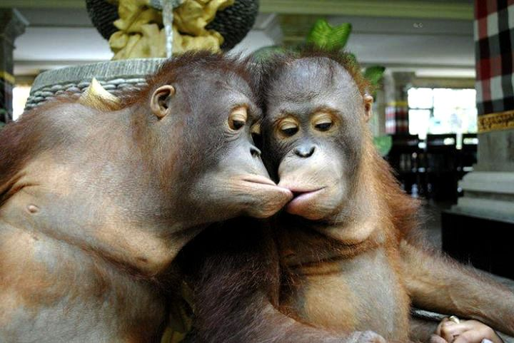 funny-picture-two-monkeys-kissing | Cute Creations ...