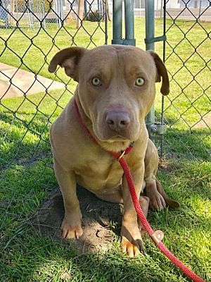 Seattle Wa Pit Bull Terrier Meet Liam A Dog For Adoption Pitbull Urgent Save A Life Pitbull Terrier Dogs Rescue Dogs