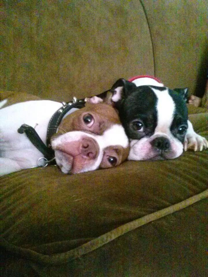 """This way when they come back,we look dumb!"" #dogs #pets #BostonTerriers…"