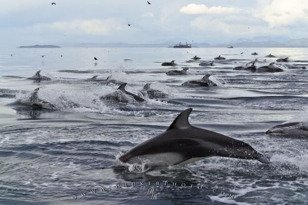 Photo of a large group of pacific white sided Dophins in Queen Charlotte Sound off Vancouver Island.