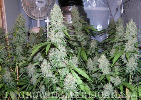Amnesia Haze (fem) #marijuana #cannabis #mariuana #marihuana #sativa #indica #herb #pot #dank #joint #spliff