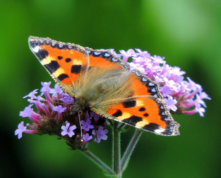 https://flic.kr/p/v1nWwp | Small tortoiseshell in our garden ! ! | Fraaie gave kleine vos in onze tuin. Inmiddels al zo'n 7 soorten gezien in onze tuin. !! Vandaag nog een kolibrie vlinder !!