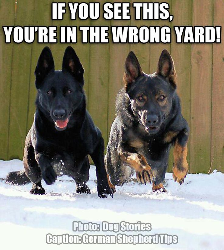 Don't mess with German shepherds /// WE DON'T KNOW WHO BROUGHT US TO THIS YARD...NOT US!