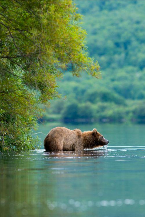 tulipnight:  Kamchatka Brown Bear byEyal Cohen