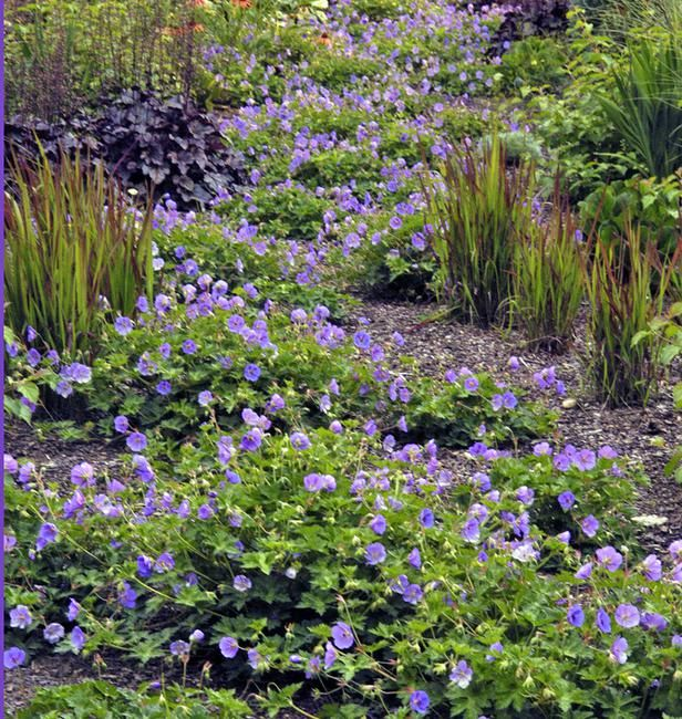 The hardy geranium 'Rozanne' blooms nonstop from spring to fall. It was chosen perennial of the year for 2008 by the Perennial Plant Association.