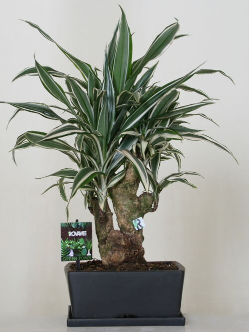 Dropbox - Green Power - Dracaena der white stripe.jpg