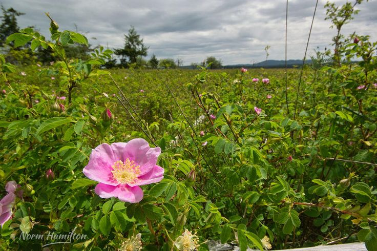 https://flic.kr/p/GdbJD8 | wild_rose_rathtrevor_park2570_web | Pink Wild Rose In Sea of Green  A pink wild rose thrives in a sea of greenery in Rathtrevor Park, Parksville, BC. Dramatic sky in background.