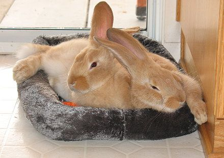 Double L Rabbit Ranch, Flemish Giant Rabbit Flemish Giants ...