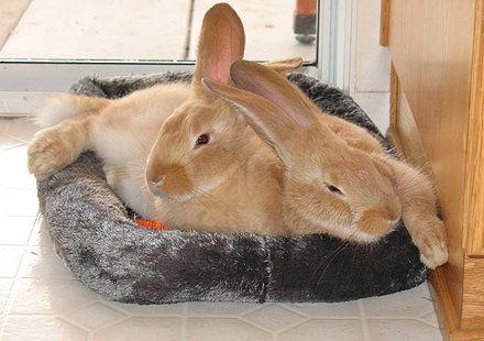 Double L Rabbit Ranch, Flemish Giant Rabbit Flemish Giants ...