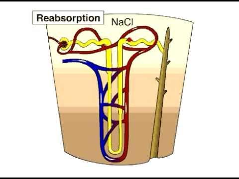 Loop Of Henle - the Nephron loop