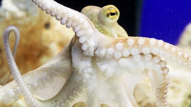 Octopussen veranderen van kleur tijdens ruzies met soortgenoten.De inktvissen nemen een donkere tint aan als ze in conflict raken met elkaaren verbleken weer als ze zich terugtrekken uit zo'n confrontatie.