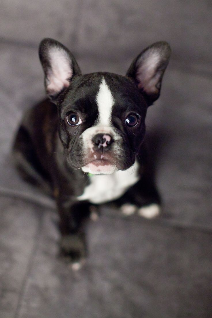 bulldog fart monty 10 weeks old french bulldog frenchie s rule and 630