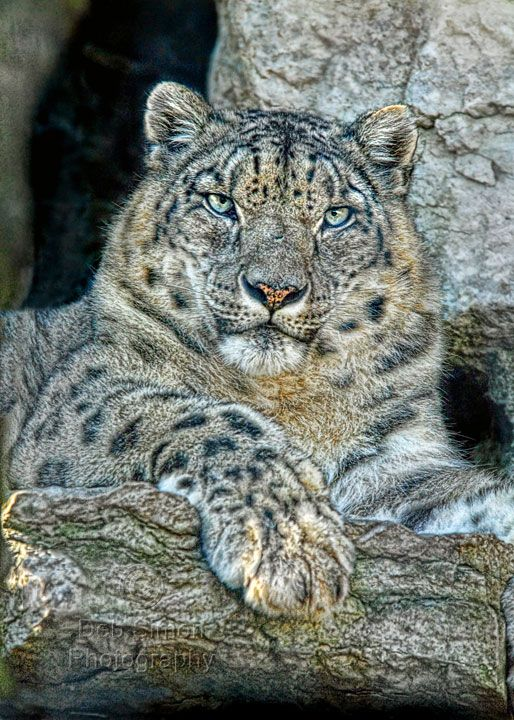 Snow Leopard Pictures Only - Bing Images | Leopard ...
