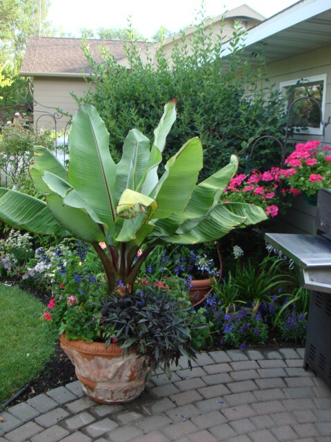 Add a bit of the tropics to the patio with a red banana tree mixed planter.  Includes Black and Blue Salvia and Blackie Sweet Potato.