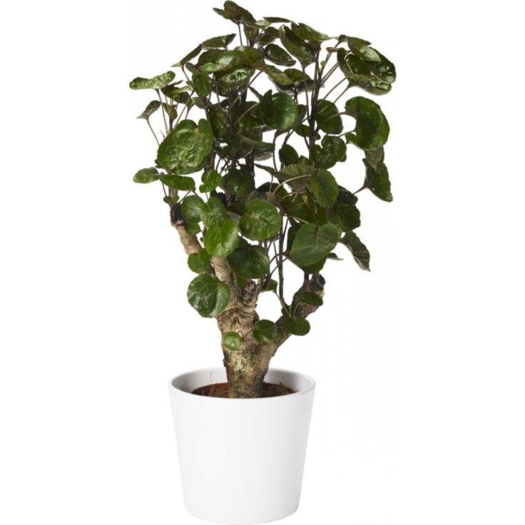 polycias fabian branched 12cm planter pinterest. Black Bedroom Furniture Sets. Home Design Ideas