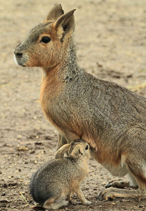 The Patagonian Mara is a large rodent that lives in southern South America. The species is listed as Near Threatened due to habitat loss and hunting.