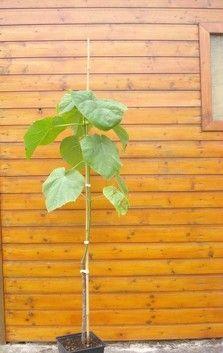 Blauglockenbaum - Paulownia tomentosa >> 130-150cm