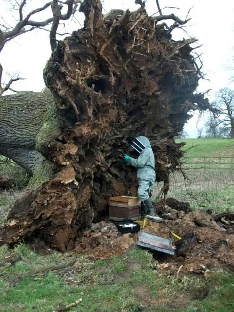 Fallen oak tree reveals nest of over 6,000 bees; I like the article with this pic because their concern was for saving the bees