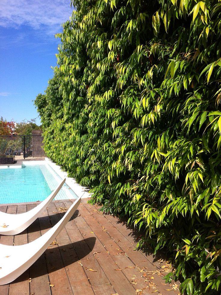 Waterhousia as a hedge