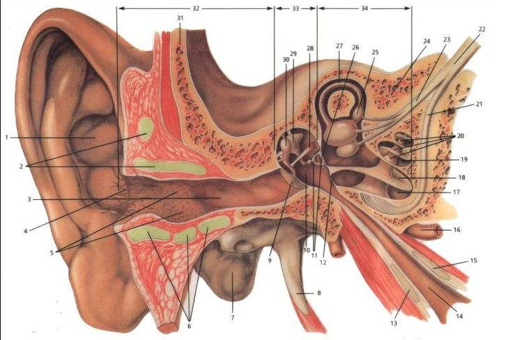 the structure of the ear