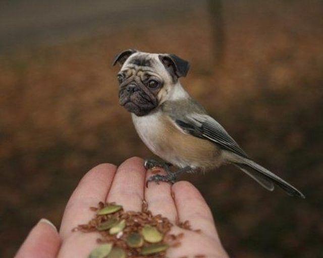 Pug Bird...hmm this has gotta be photoshopped? Haha it's cute tho