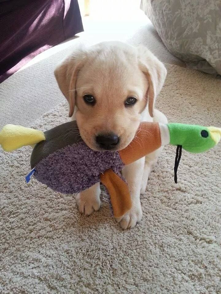 A very proud Labrador Retriever puppy - and he may not give it back ;)