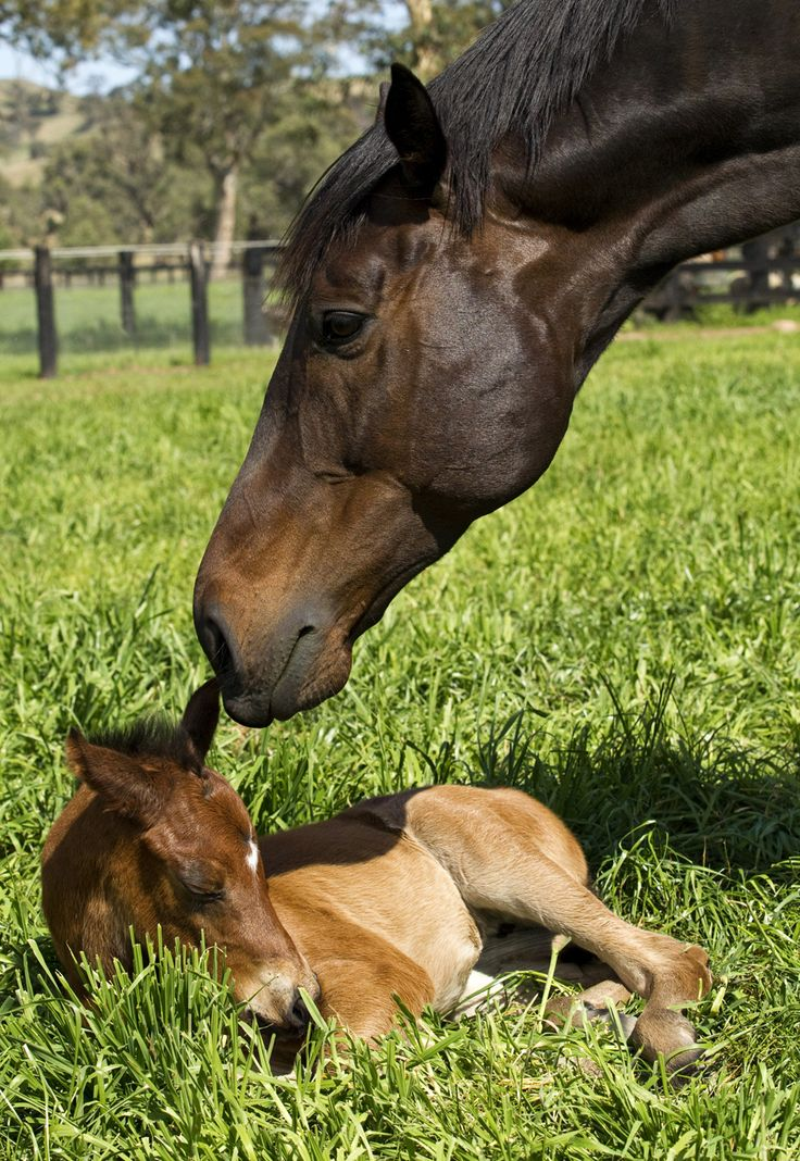 Exceed and Excel x Black Caviar. The filly was born on the 12th September 2014. Black Caviar is now in-foal to Sebring and is due to foal on the 17th of September 2015. Photograph: Georgina Lomax Photography.