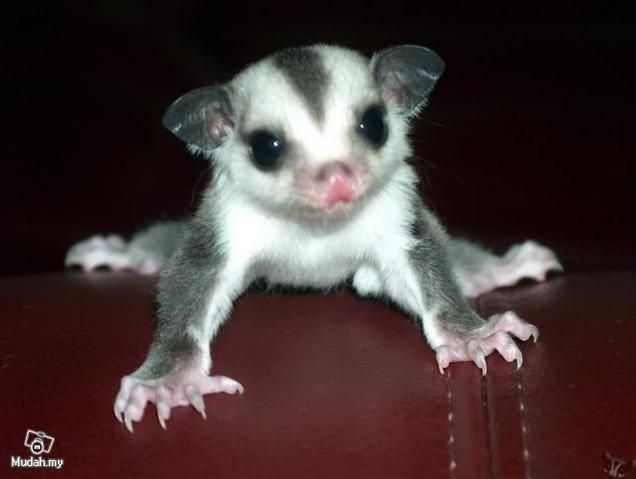 sugar gliders in mississippi | Sugar glider joeys - Pets for sale Sabah - Mudah.my