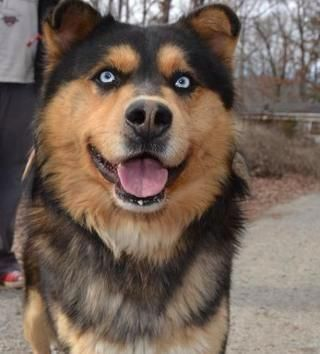 #NewJersey ~ Topaz is a 1-2yo Alaskan Malamute / Husky mix who's an absolutely stunning boy!!! He's a large boy, V sweet, loveable & strong. He adores the snow & is a puppy in a big body! We just welcomed him into our rescue, so we aren't entirely sure how he is w/ all dogs & cats, but we will be testing him. He needs to go to a home w/ a secure fenced in yard as he like to run. Diamonds in a Ruff Rescue in #PomptonLakes info@diamondsinaruff.com